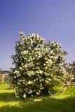 Guelder rose. Flourish snowball shrub on garden meadow in spring time stock photo