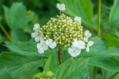 Guelder rose affected by aphids Stock Photos