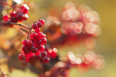 A guelder rose in autumn. Stock Photo