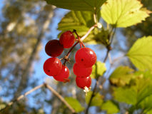 Guelder-rose berries Royalty Free Stock Photos