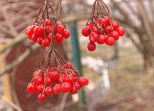 Guelder rose berries. Red natural Royalty Free Stock Image