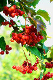 Guelder-rose berries Stock Photos