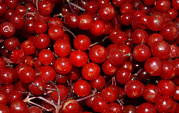 Guelder Rose Berries Royalty Free Stock Photography