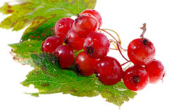 Guelder-rose berries Royalty Free Stock Photography