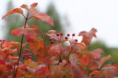 Guelder-rose berries Stock Photo