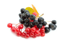 Guelder-rose berries and black chokeberry. Clusters of berries of a guelder-rose and mountain ash on a white background Royalty Free Stock Photo