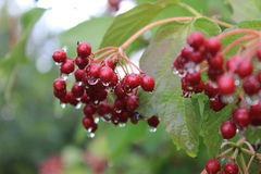 Guelder rose berries on the branch with leaves covered by raindrops. Stock Photo