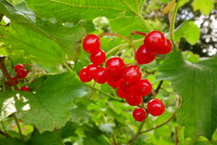 Guelder Rose Berries Royalty Free Stock Photo