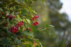 Guelder-rose berries Royalty Free Stock Image