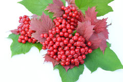 Guelder-rose berries with leaves on a white background Stock Images