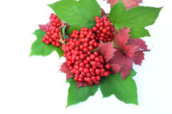Guelder-rose berries with leaves on a white background Royalty Free Stock Image