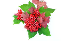 Guelder-rose berries with leaves on a white background Stock Photography