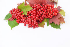 Guelder-rose berries with leaves on a white background Royalty Free Stock Photos