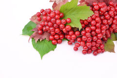 Guelder-rose berries with leaves on a white background Royalty Free Stock Photo