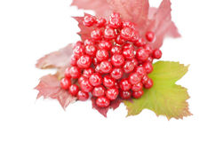 Guelder-rose berries with leaves on a white background Stock Image