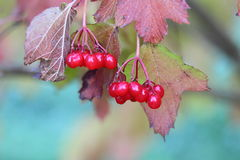 Guelder-rose berries. Mature berries of a guelder-rose after the first frosts Royalty Free Stock Image