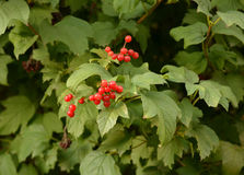 Guelder-rose berries Stock Images
