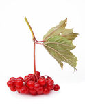 Guelder-rose berries (viburnum) Stock Photography