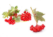 Guelder-rose berries (viburnum) Stock Images