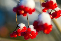 Guelder Rose berries in winter Stock Photography