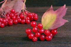 Guelder-rose berries Royalty Free Stock Photos