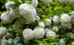 Guelder rose blossom branches Stock Photography