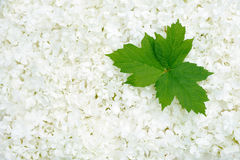 Guelder rose blossoms and leaves Stock Images