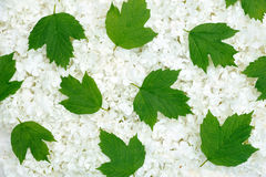 Guelder rose blossoms and leaves - background Royalty Free Stock Photography
