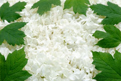 Guelder rose blossoms and leaves - background Royalty Free Stock Image