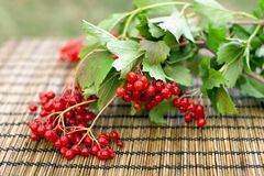 Guelder-rose branch. With berries on wooden background royalty free stock images