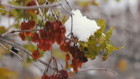 Guelder-rose branches with green leaves stock video footage