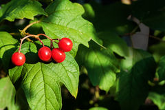 Guelder rose Royalty Free Stock Photo