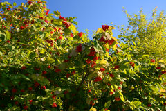 Guelder-rose on the bush Stock Photography