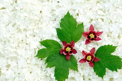 Guelder rose and columbine  blossoms Stock Image