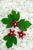 Guelder rose and columbine  blossoms - background Royalty Free Stock Photos