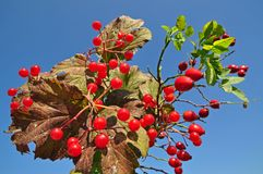 Guelder-rose and dogrose branches Stock Photography