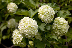 Guelder rose. Royalty Free Stock Image