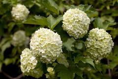 Guelder rose. Royalty Free Stock Image