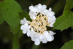 Guelder Rose Flowers Stock Photography