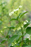 Guelder rose flowers Stock Photo