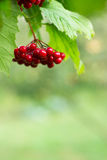 Guelder rose Royalty Free Stock Photography