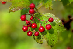 Guelder-rose. Red berries. Stock Photography