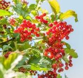 Guelder rose. Red Viburnum Berries Stock Image