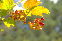 The guelder-rose ripens Stock Photo