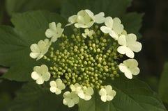 Guelder-rose, roos de Gelderse, opulus de Viburnum image libre de droits
