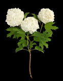 Guelder rose (snowball) Stock Image