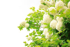 Guelder rose (snowball) stock photography