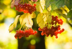 Guelder Rose or snowball tree Royalty Free Stock Photos