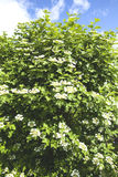 Guelder rose Stock Images
