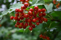 Guelder Rose, Snowball tree Royalty Free Stock Photography